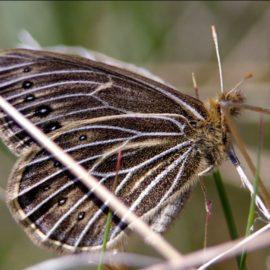 Бабочка Крыма — Сенница Фрина