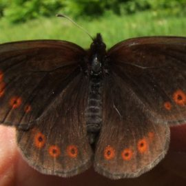 Бабочка Крыма — Чернушка степная