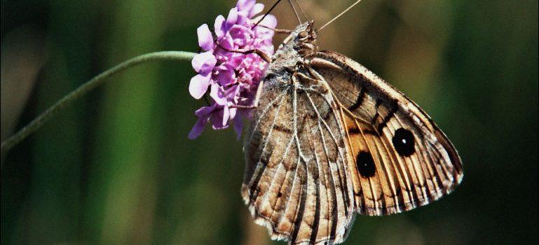 Бабочка Крыма — Сатир ажурный