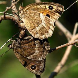 Бабочка Крыма — Сатир горный