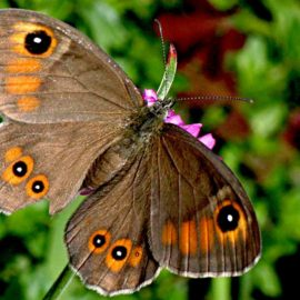 Бабочка Крыма — Сатир волоокий
