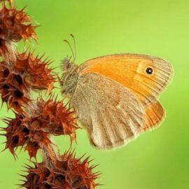 Бабочка Крыма — Сенница Памфил